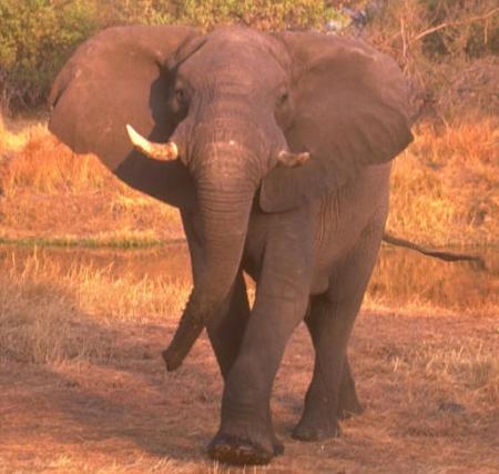 elefante-africano.jpg