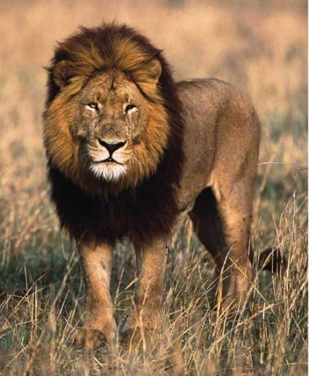 imagen leon animal: